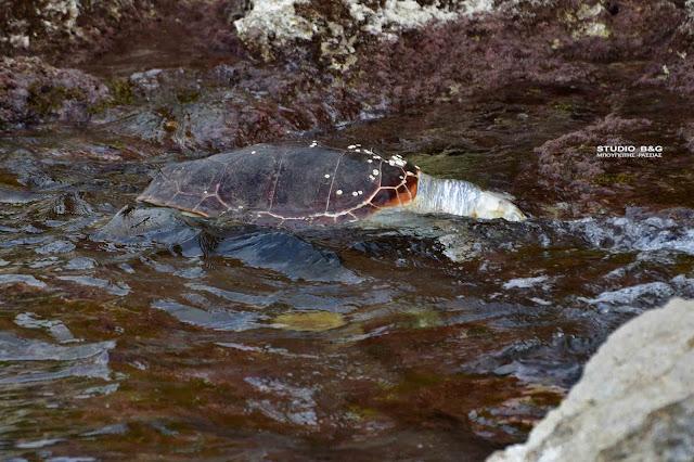 Νεκρή θαλάσσια χελώνα ξεβράστηκε σε παραλία στο Ναύπλιο