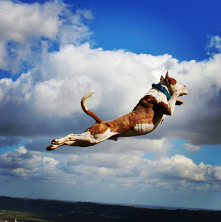 Flying Super Dog, Athlete dog, flying dog