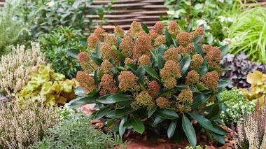 Skimmia japonica, una planta rústica y de bajo mantenimiento para las cuatro estaciones