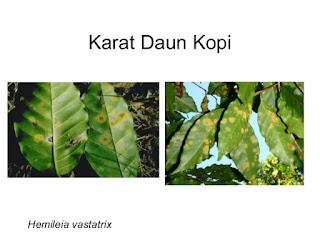 kopi yang terserang penyakit Karat daun kopi