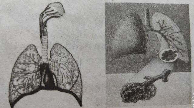 organ pernapasan manusia beserta fungsinya