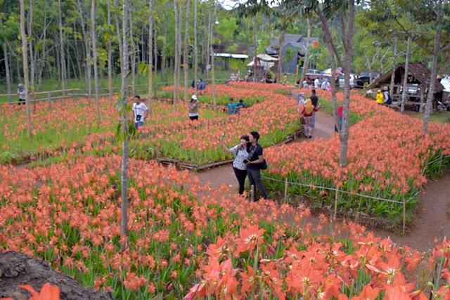 Taman Bunga Amaryllis Patuk