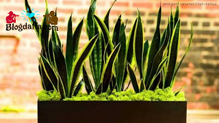 Jenis-jenis tanaman hias lidah mertua