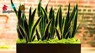 tanaman hias daun lidah mertua