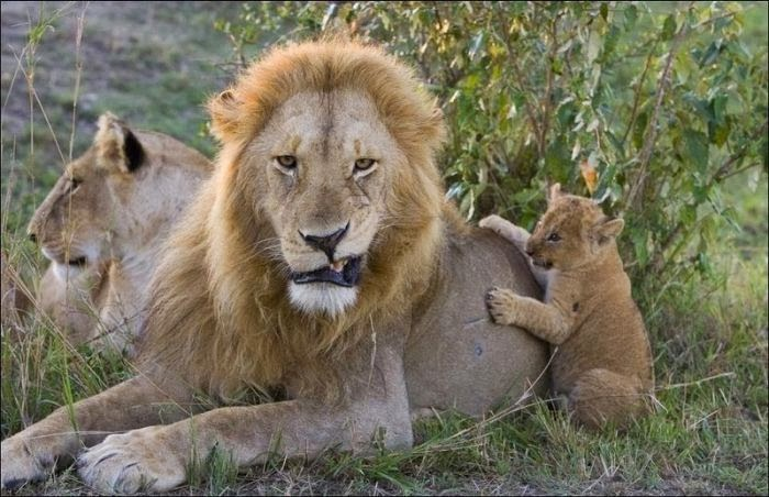 Funny animals of the week - 14 February 2014 (40 pics), lion family, baby lion and male lion