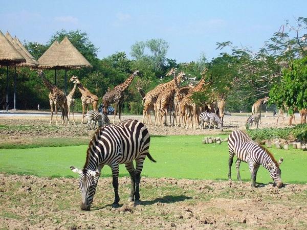 ngựa vằn ở cự ly cực gần tại Safari World