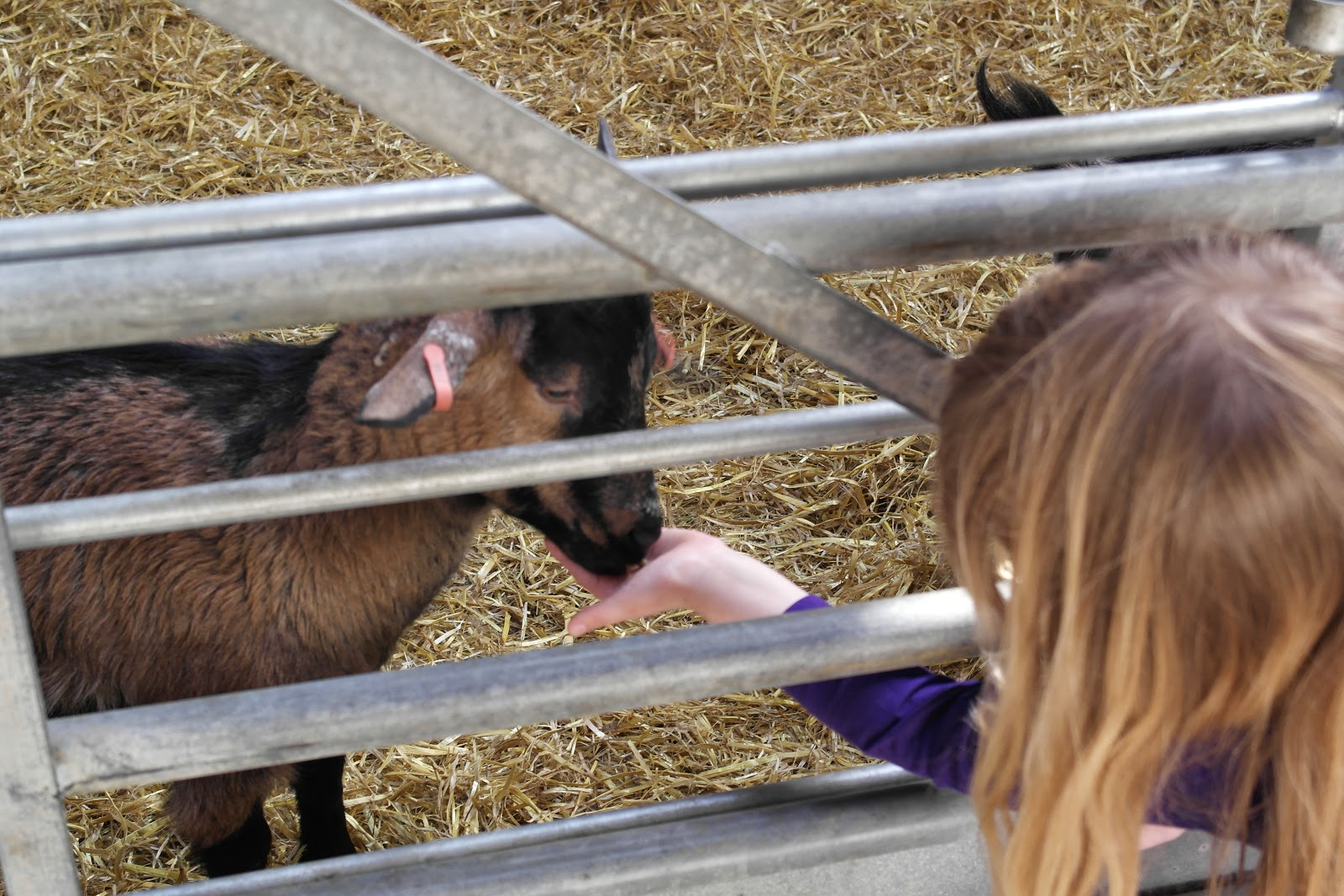 Feed the goats at Mead Open Farm