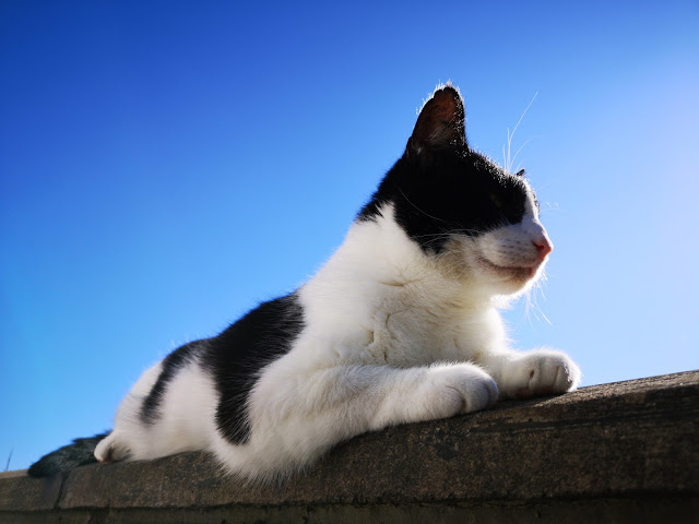 black and white cat chilling on top of wall