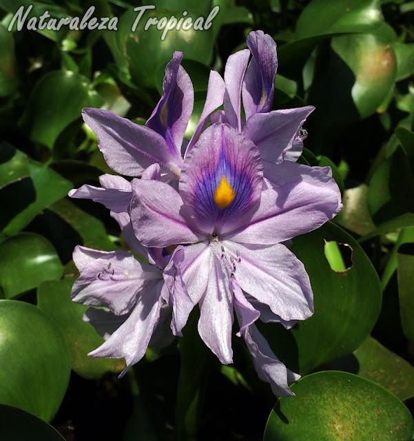 Flores del popular Jacinto de Agua, Eichhornia crassipes