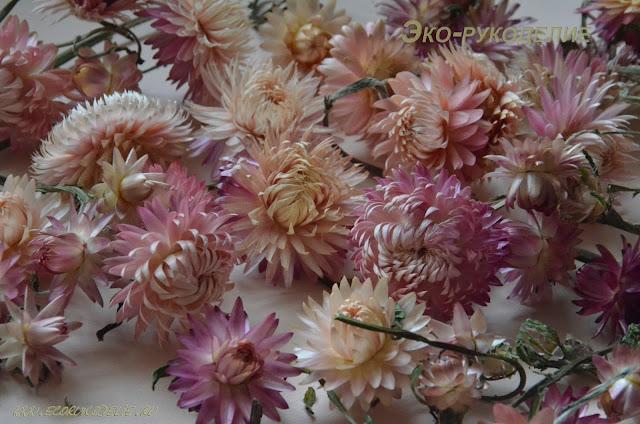 сухоцветы гелихризум