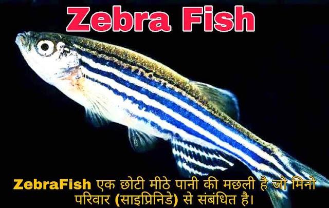 Zebra Fish यानी Zebra मछली क्या है और ये Fish Zebra की तरह दिखती है क्या ?