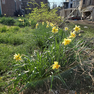 A row of daffodils, many in bloom, recedes into the background, where there are houses. There are strips of grass and dirt on either side of the daffodils.