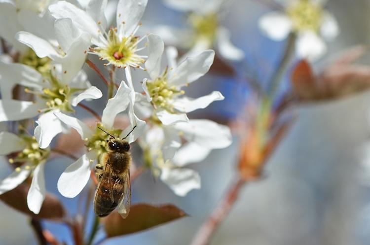 Abeille à miel fleur d'Amelanchier