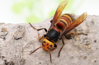 Asia's 'murder hornet' found in US for first time