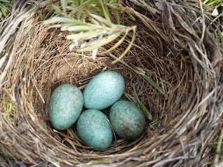 بيض الطيور