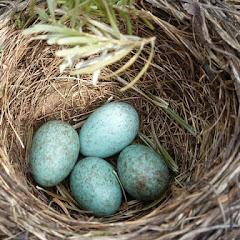 كيف تنقذ الفراخ من الإختناق داخل البيض