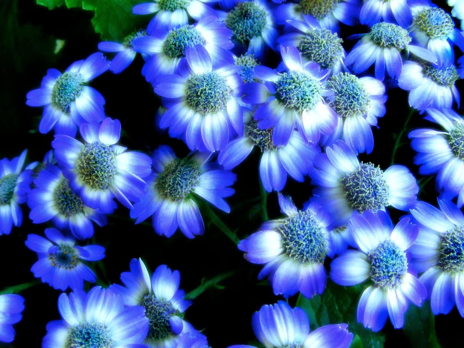 Dark Blue And White Flowers: #2 Great Flowers Wallpaper Desktop Background Full Screen