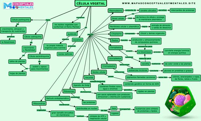 Mapa conceptual de la célula vegetal con sus partes y funciones