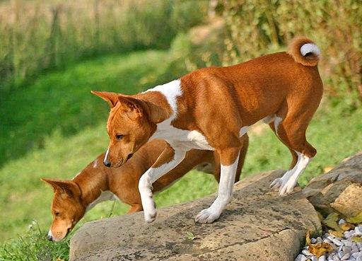 كلب باسنجي