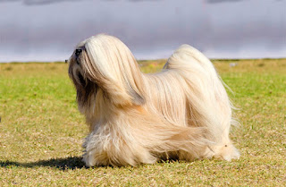 Everything about your Lhasa Apso