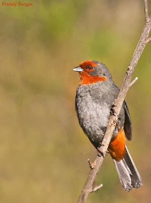 aves amenazadas argentinas Monterita serrana Compsospiza baeri