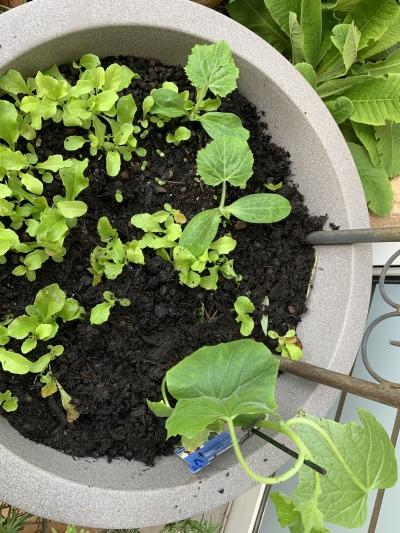 Gekeimt: Schnittsalat, Zucchini; gepflanzt: veredelte Snack-Gurke