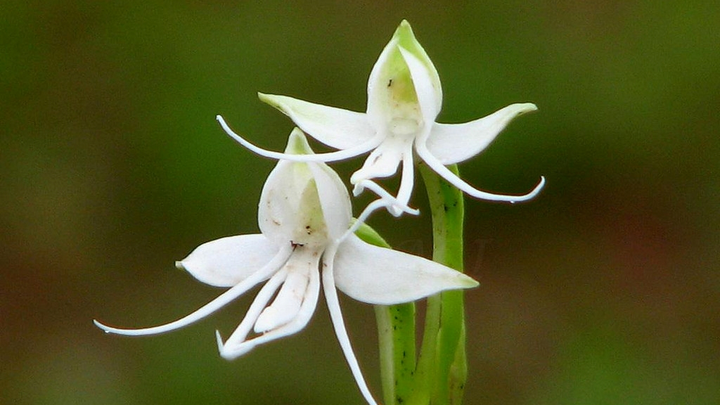 Uma orquídea peculiar, clique e veja tudo sobre.