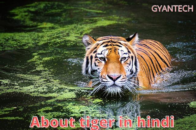 about tiger in hindi/बाघ पर रोचक जानकारी