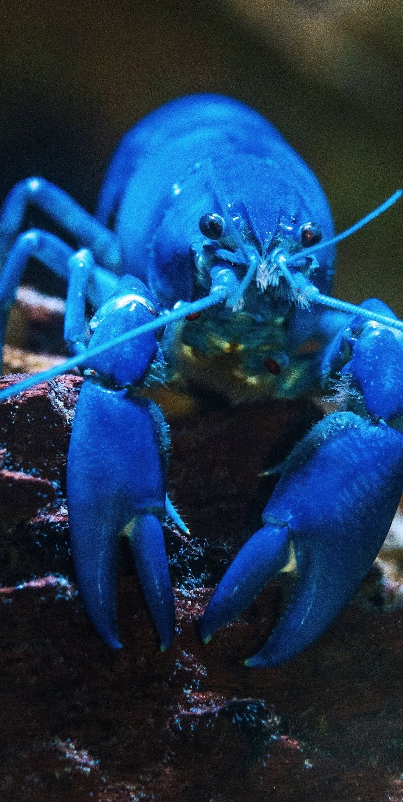 Picture of a blue lobster.