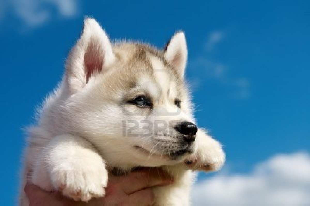cute puppy dogs  brown siberian husky puppies