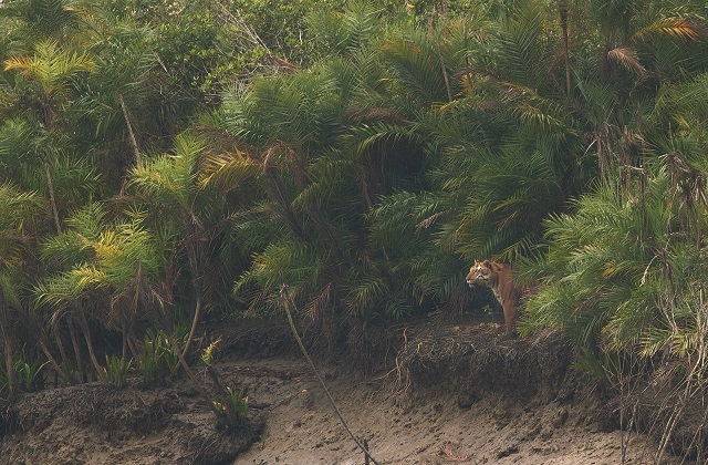 The Sundarbans National Park tiger