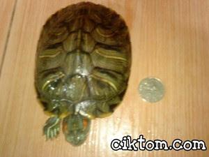 Kura-kura kesayangan