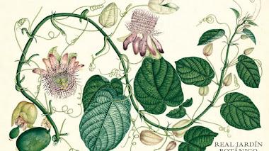 Las pasifloras de la colección Mutis ilustran el calendario del Real Jardín Botánico de 2022