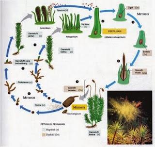 Tumbuhan Lumut (Proses Reproduksi, BIla tidak ada tumbuhan lumut, dan habitat tumbuhan lumut)