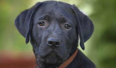 cachorro de laborador negro
