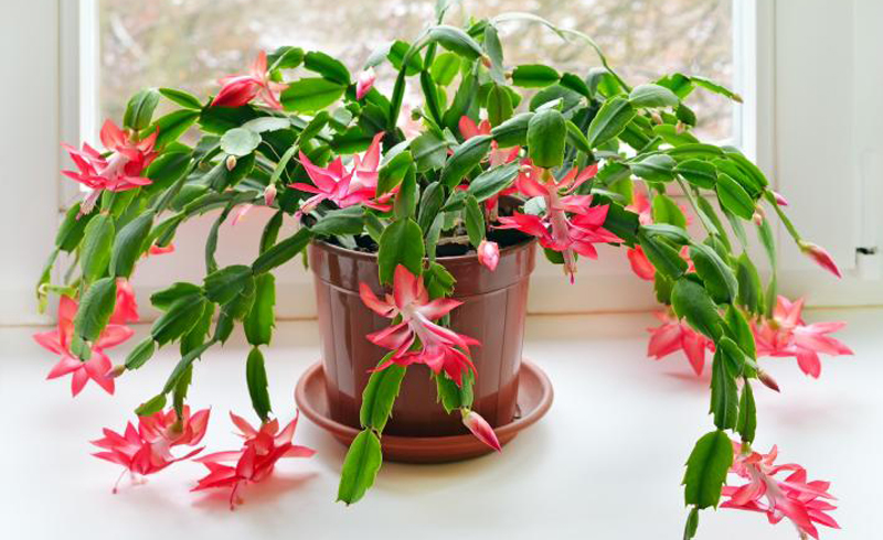 How to Keep Your Christmas Cactus Blooming