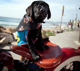 Assistance Dogs black Labrador Puppy on the back of Harley Davidson motorbike