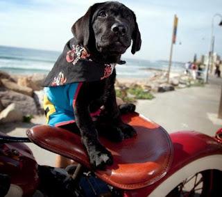 Assistance Dogs black Labrador Puppy on the back of Harley Davidson motorbike