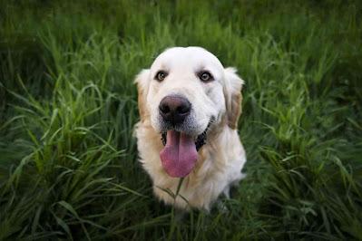 dogs and artichoke, artichoke for dogs