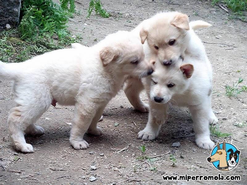 Cachorros de Can de Palleiro