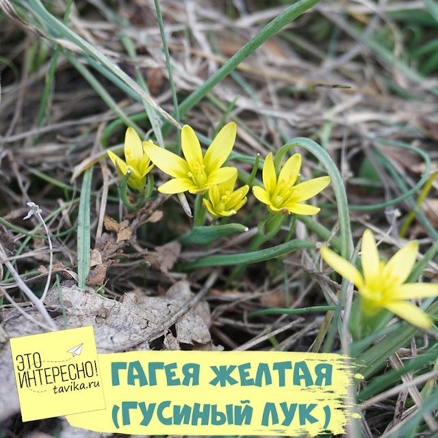 гусиный лук желтый