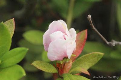 photography, flowers, azalea, bud, blossom