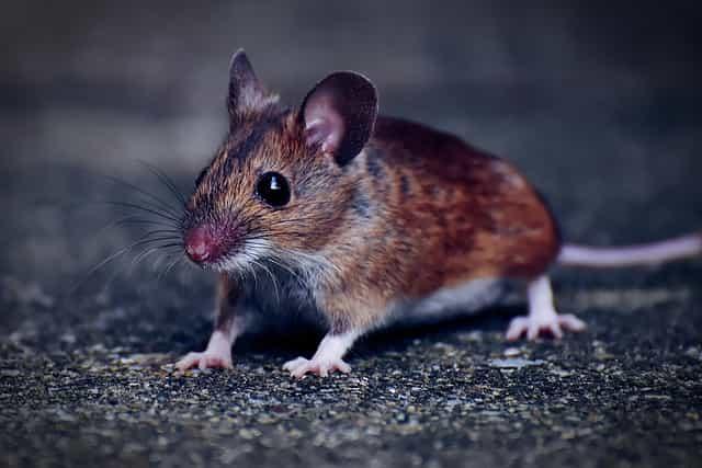 Tikus Macam Hewan Penular Penyakit Berbahaya Lewat Interaksi