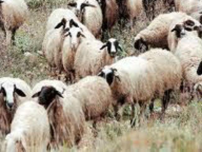 Έκλεψε ζώα στη Χαλκιδική και συνελήφθη στη Θεσσαλονίκη