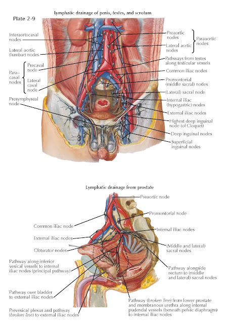 Lymphatic Drainage of Pelvis and Genitalia