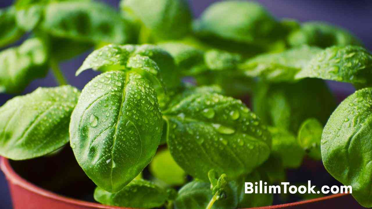 Benefits of Basil For Immune System, Brain and Body
