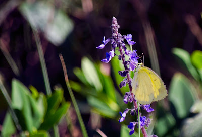 Yellow migrant butterfly