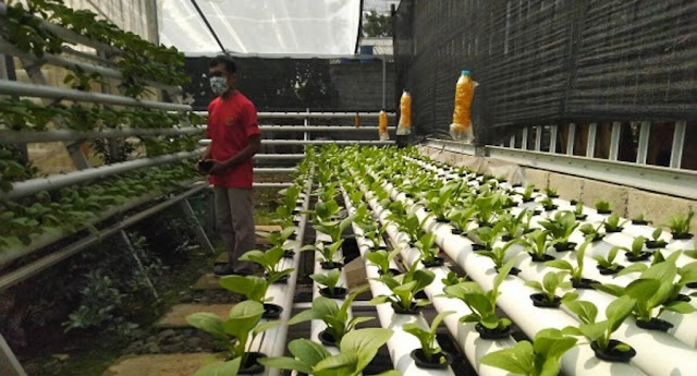 Mengintip Potensi Bisnis Sayuran Hidroponik di Kalangan Urban