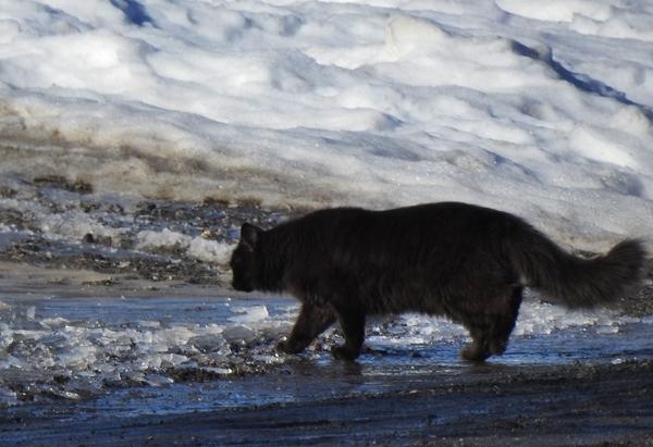svart katt over veien