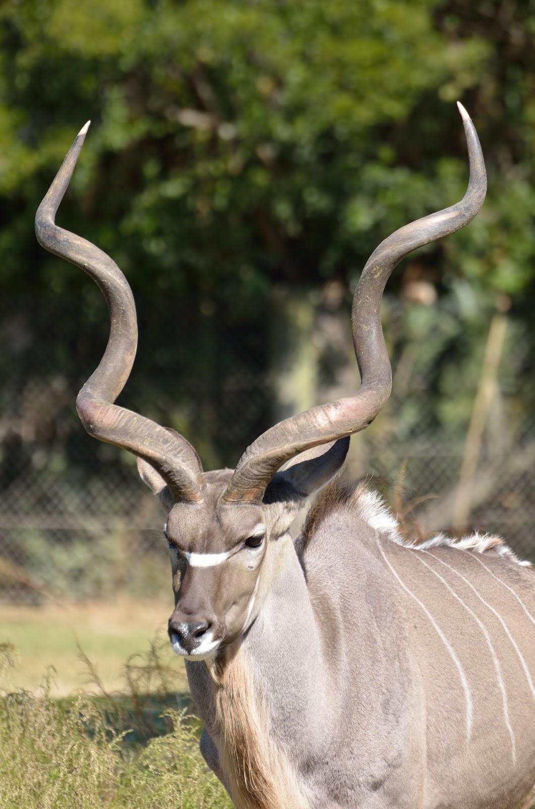 Amazing kudu horns.